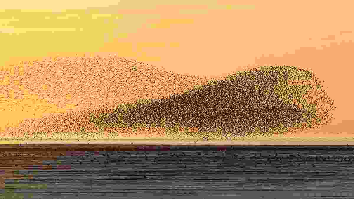 A murmuration of waders over the mudflats at sunset. Shot on Canon 5D IV, 100–400mm at 400mm, ISO 800, 1/2500s at f/5.6. Aug (© Justin Minns)