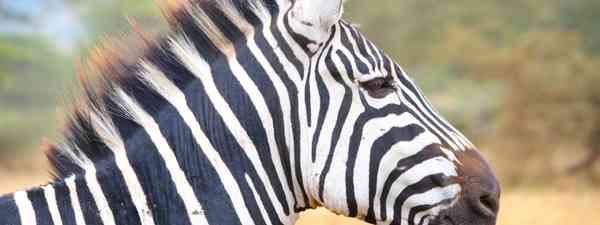 Zebra in Ngorongoro Crater, Tanzania (Graeme Green)