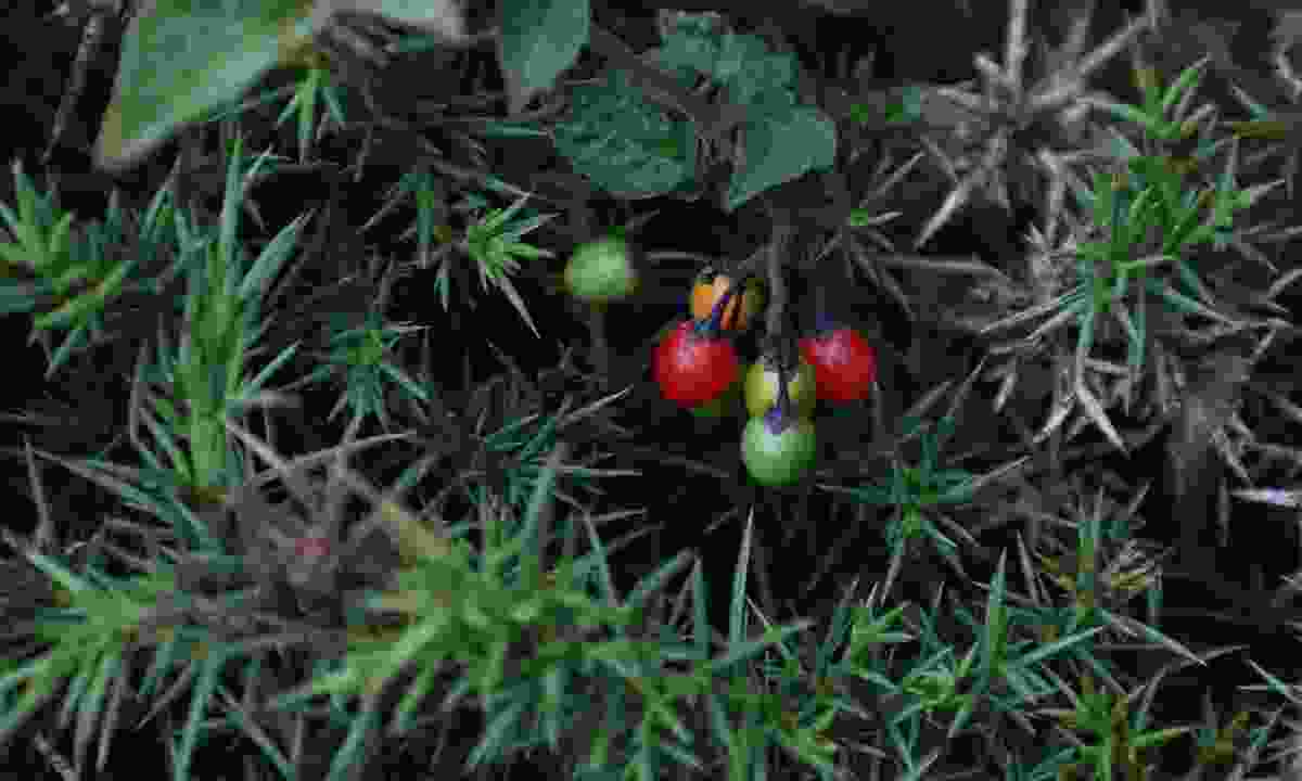 A cluster of black bryony berries (Phoebe Smith)