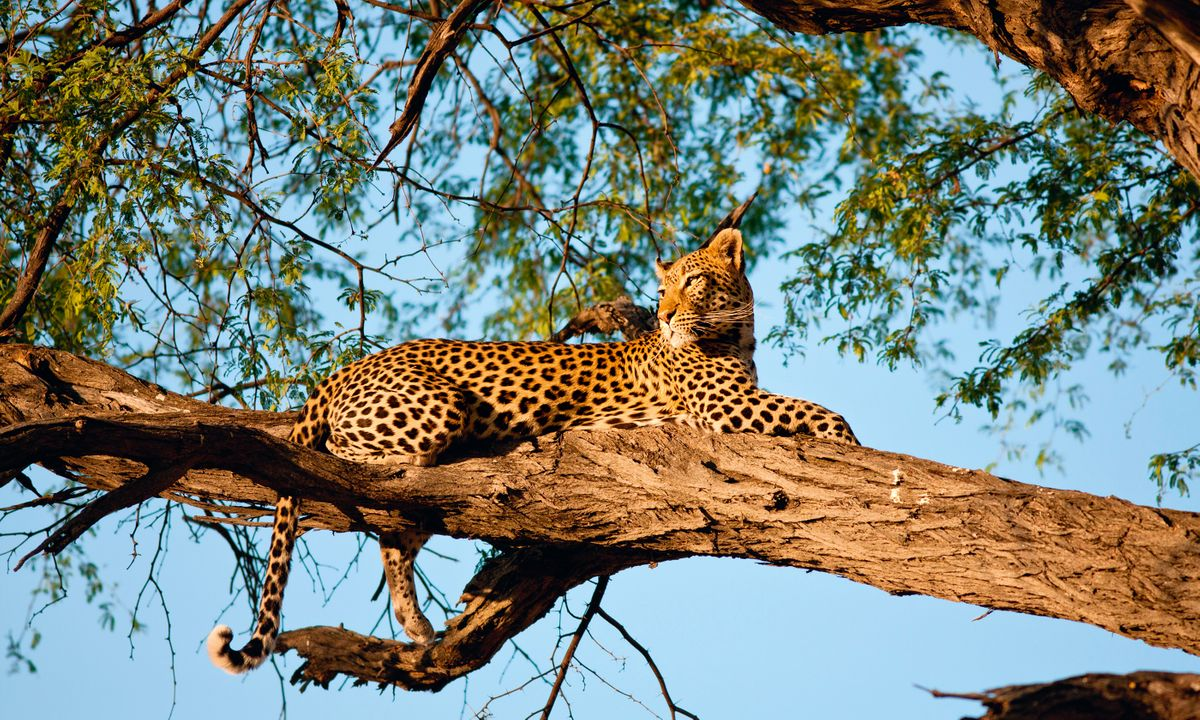 Spotted! A leopard scans the African savannah for antelope from on high (Dreamstime)
