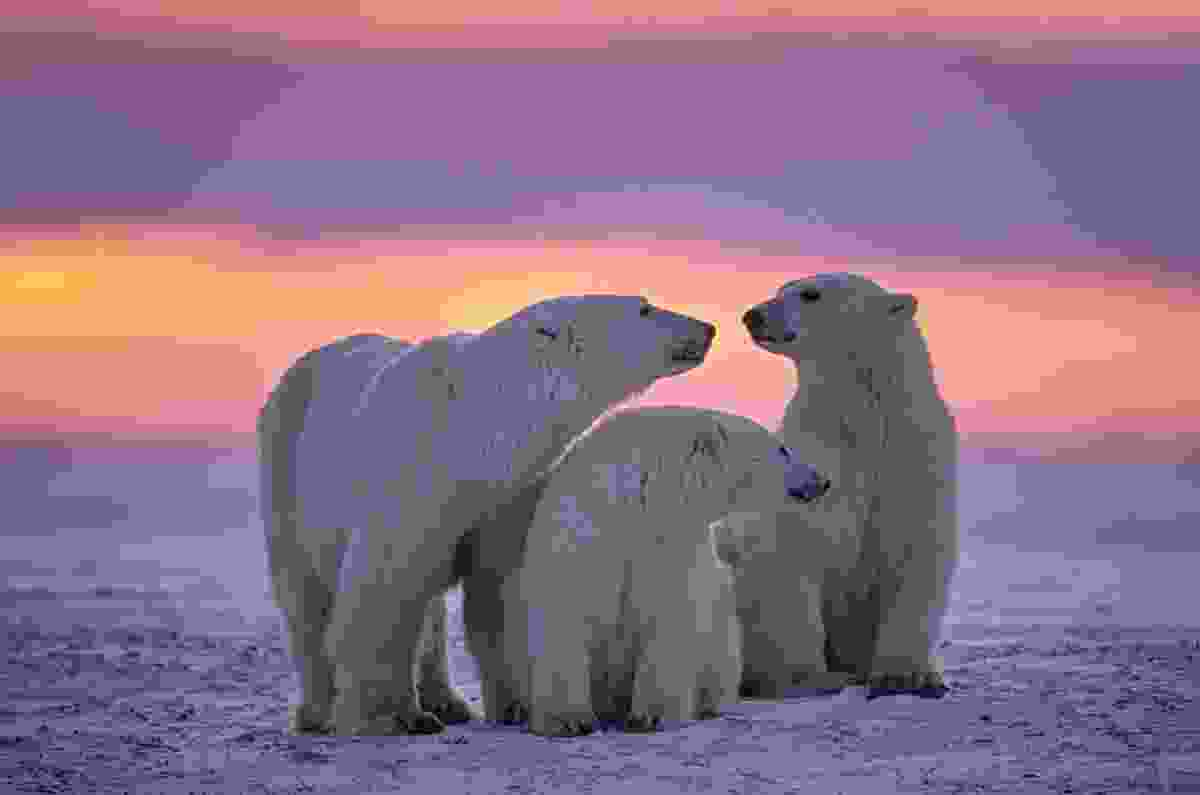 Polar bears in the Canadian Arctic sunset (Shutterstock)
