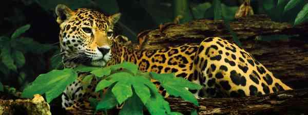 Things to do in Belize - jaguar spotting (Belize Toursist Board)