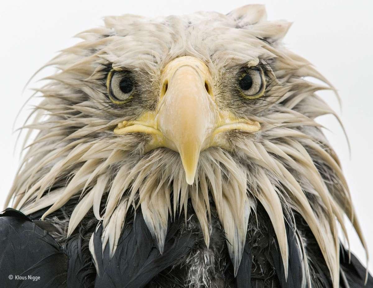 Bold Eagle. Finalist 2017, Animal Portraits (Klaus Nigge)
