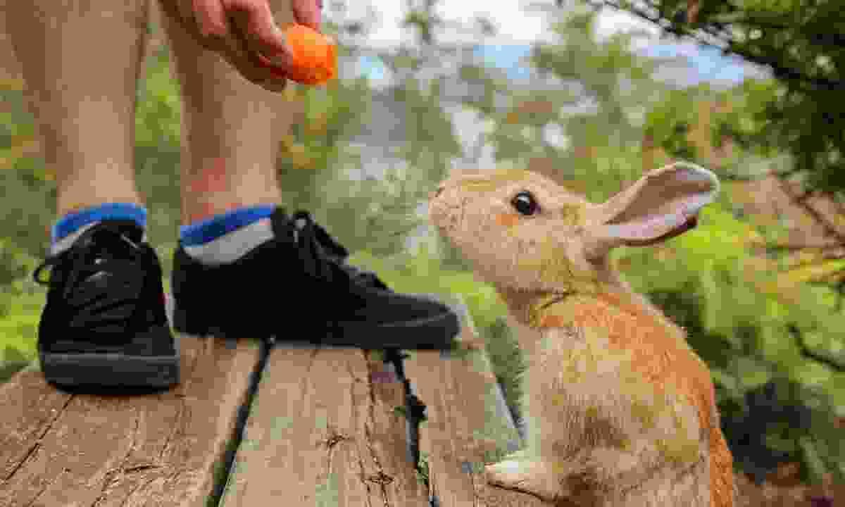 Hand feeding a rabbit on Okunoshima Island (Shutterstock)