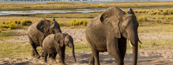 Elephants walk through Chobe National Park (Dreamstime)