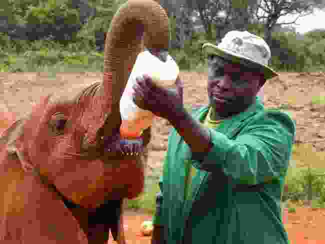 Feeding a baby elephant, David Sheldrick´s Wildlife Trust, Kenya (Dreamstime)