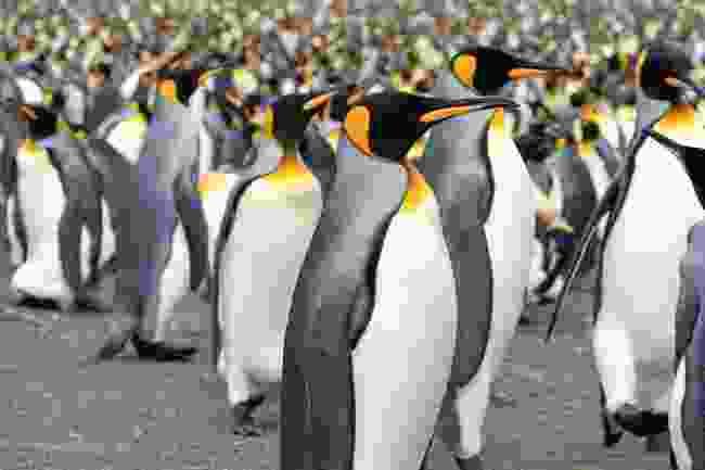 King penguins (iStock)