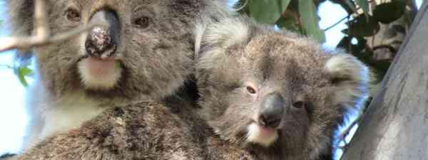 Two of the You Yangs' wild koalas (Echidna Walkabout)