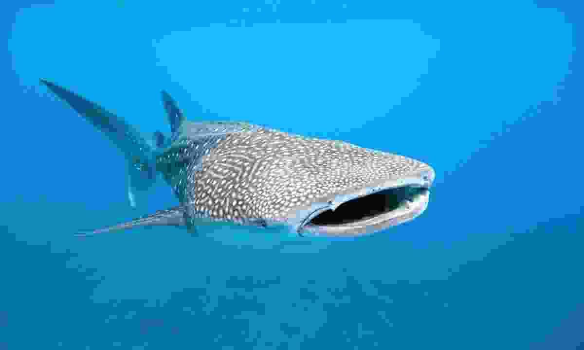 Whale shark (Dreamstime)