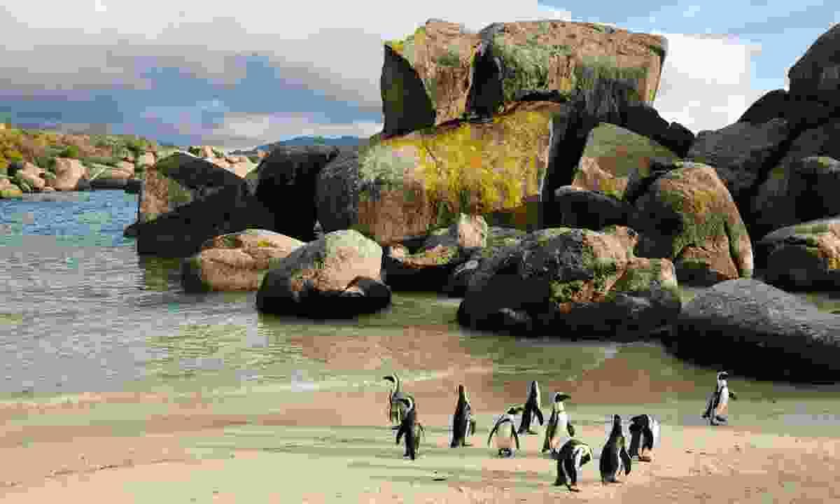 Penguins waddle on Boulders Beach (Ariadne Van Zandbergen)