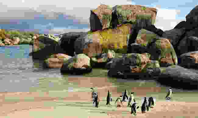 Penguins waddle on Boulders Beach (Ariadne Van Zandbergen)
