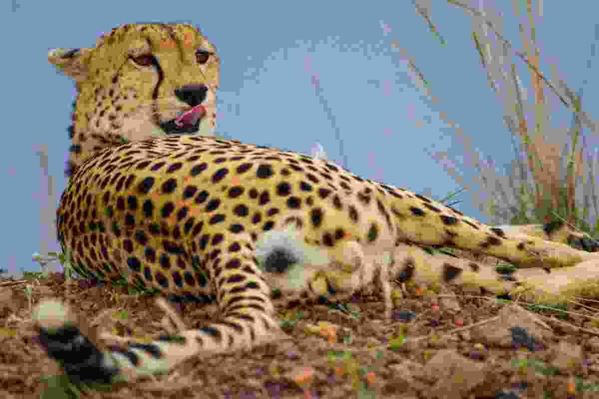 Cheetah on the Masai Mara (The Planet D)