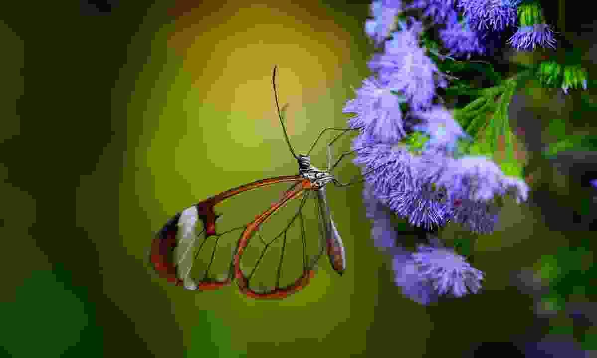 Thousands of butterflies can be seen all over Costa Rica (Shutterstock)
