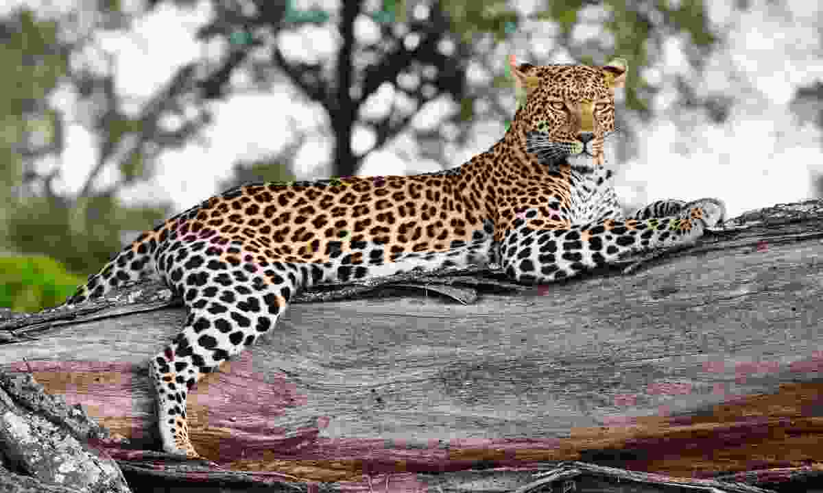 Leopard, Panthera pardus (Shutterstock)