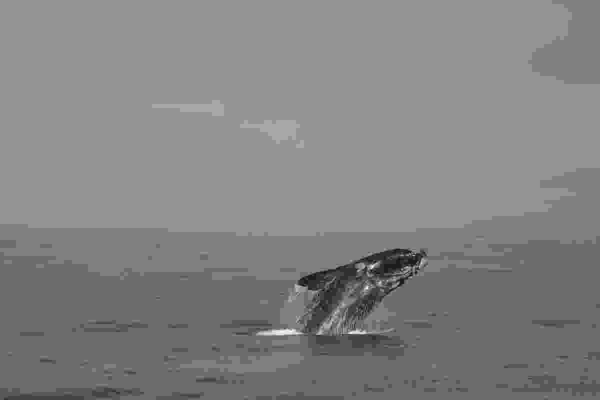 Phoebe's most impressive whale-watching victory: a south Atlantic right whale (Phoebe Smith)