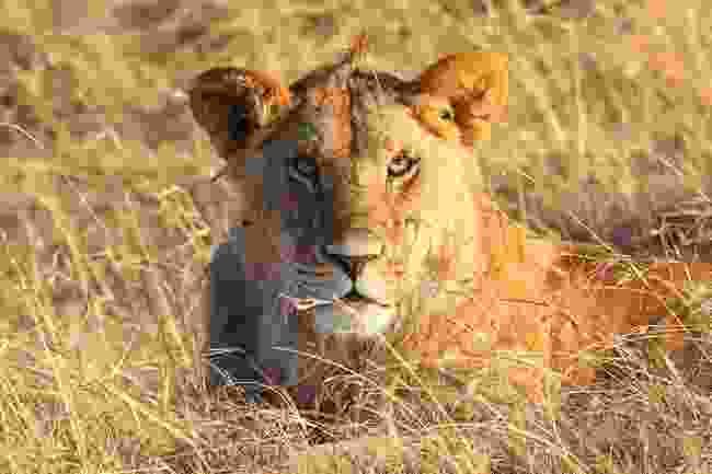 A lion in long grass at the Mara Naboisho Conservancy, Kenya (Graeme Green)