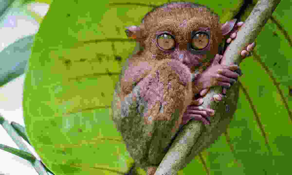 A tarsier sheltering from the rain (Shutterstock)