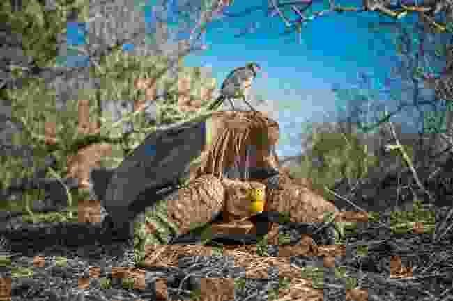 Strange bedfellows – both endemic to Española Island, a mockingbird checks out a saddleback tortoise (Tui De Roy)