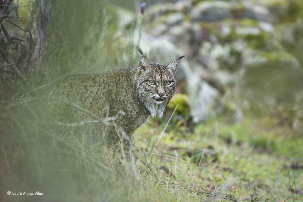 Glimpse of a lynx. Finalist 2017, Young Wildlife Photographer of the Year, 11-14 Years (Laura Albiac Vilas)