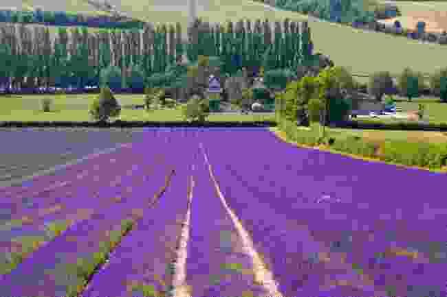 Kentish Lavender at Castle Farm (Shutterstock)