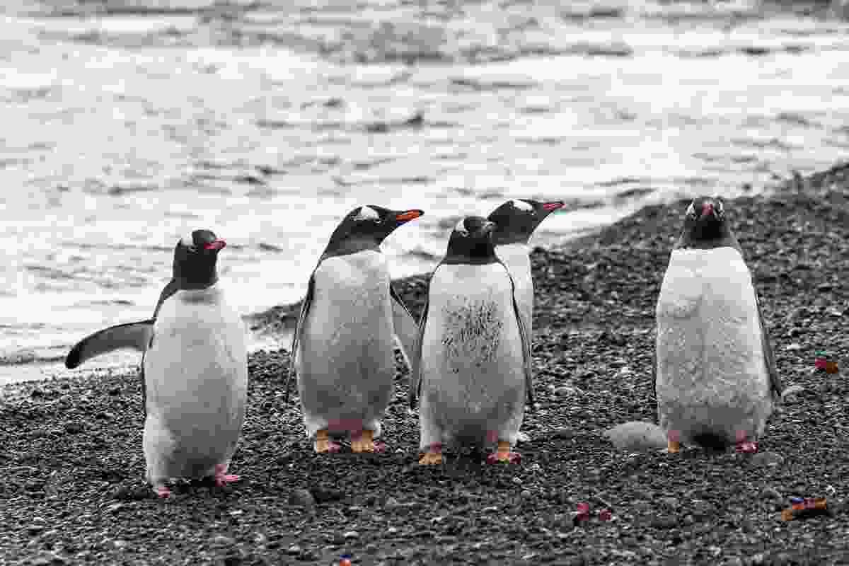 Penguins in Antarctica (NOMADasaurus)
