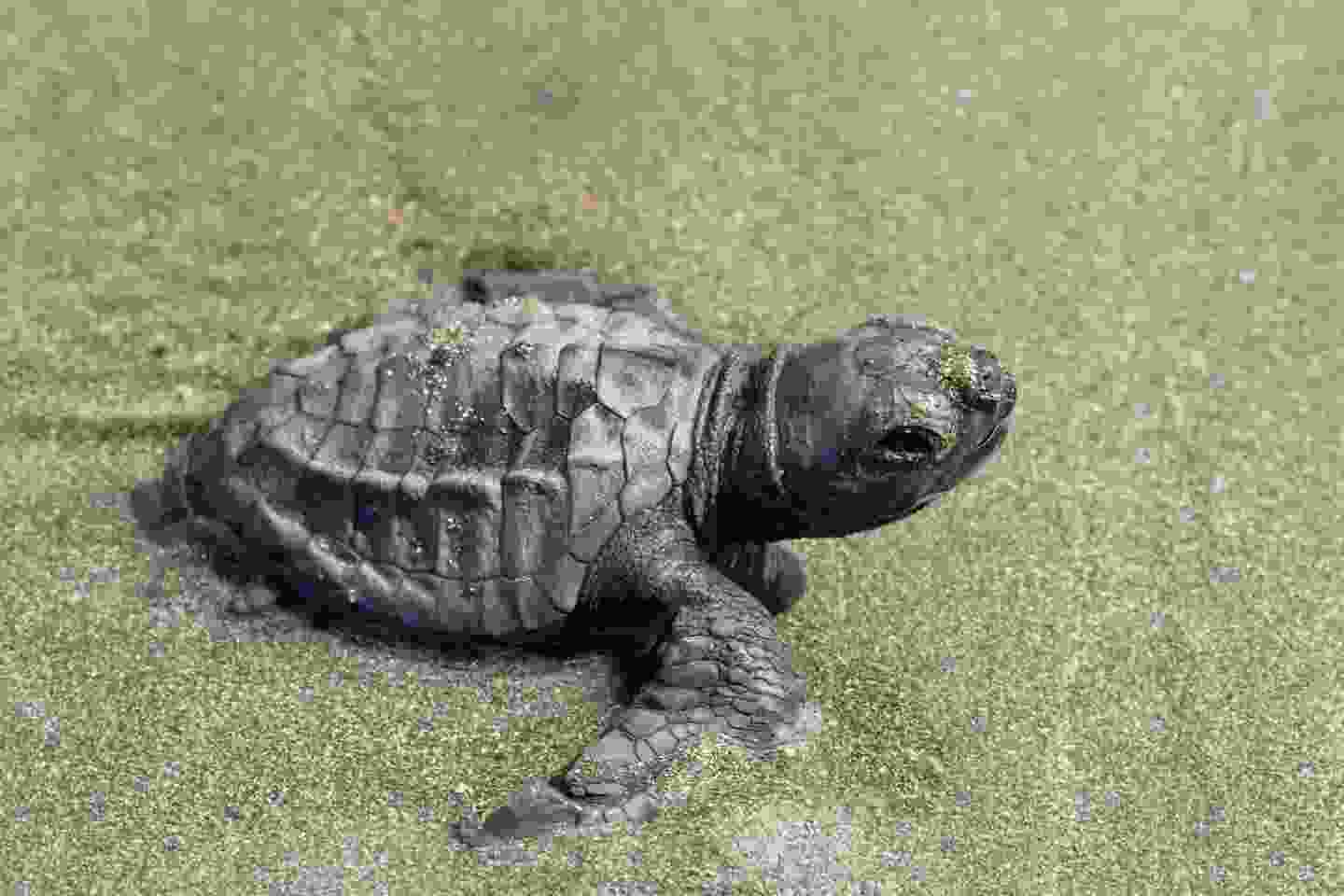 Baby olive ridley sea turtle making its way back into the ocean (Shutterstock)