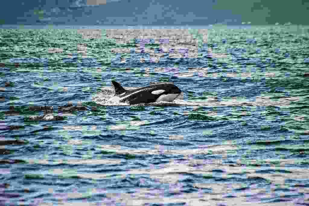 Orca hunt the herring who've made the fatal error of massing in Breiðafjöður (Mark Stratton)