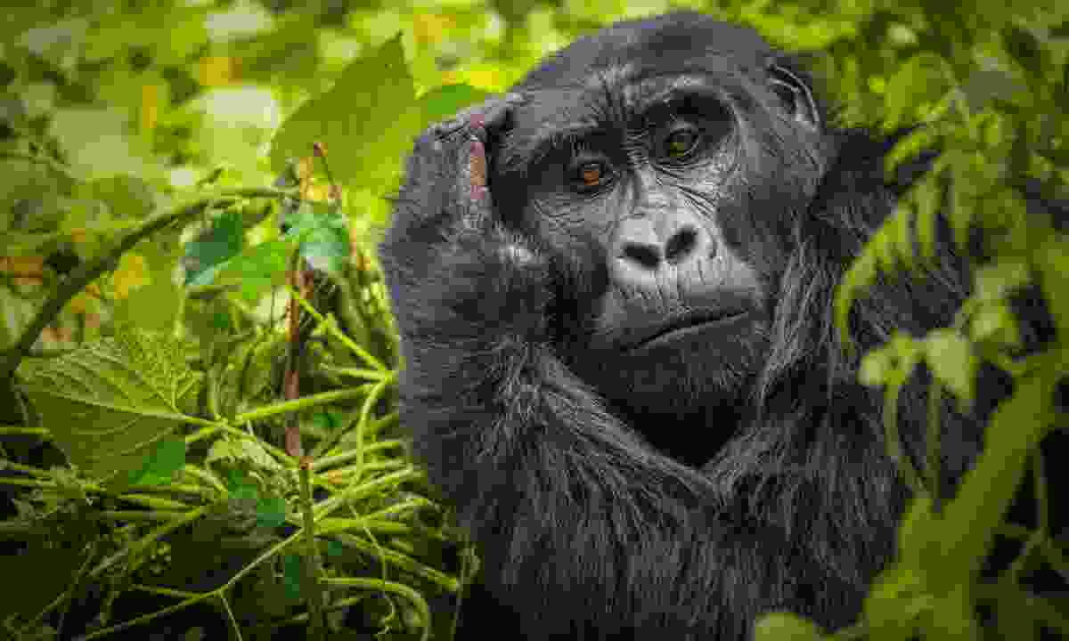 Critically endangered mountain gorillas live in Bwindi Impenetrable Forest (Shutterstock)
