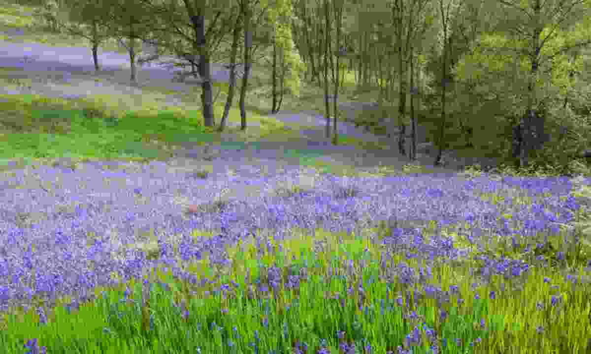 Glen Finglas bluebells (Woodland Trust)