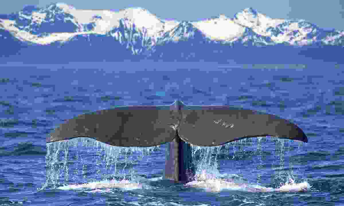 Whale tail in Norway (Dreamstime)