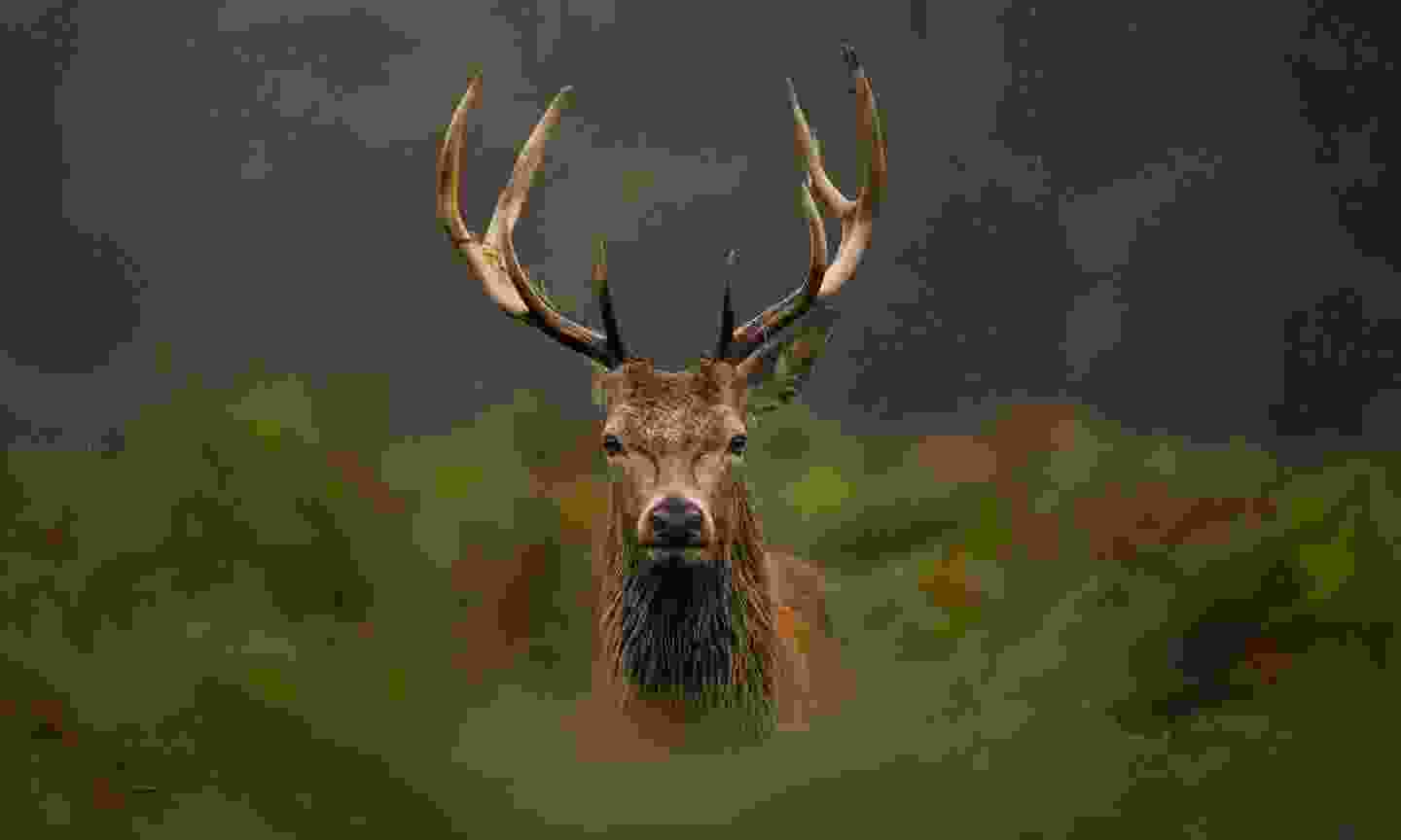 Red stag in the Scottish Highlands (Shutterstock)