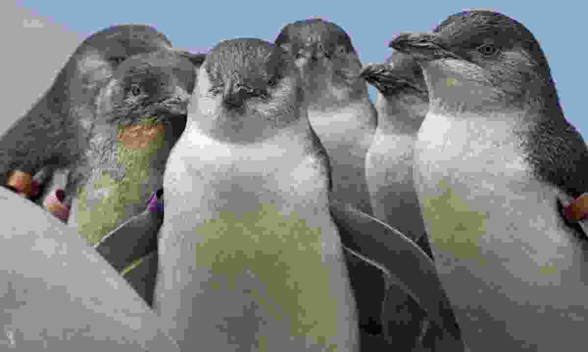 Huddling fairy penguins (Shutterstock)
