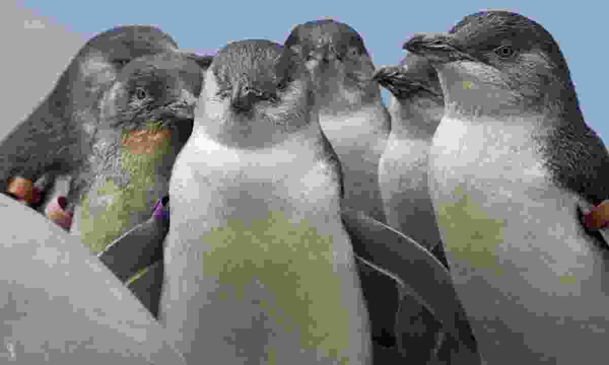 Huddling fairy penguins (Shutterstock)