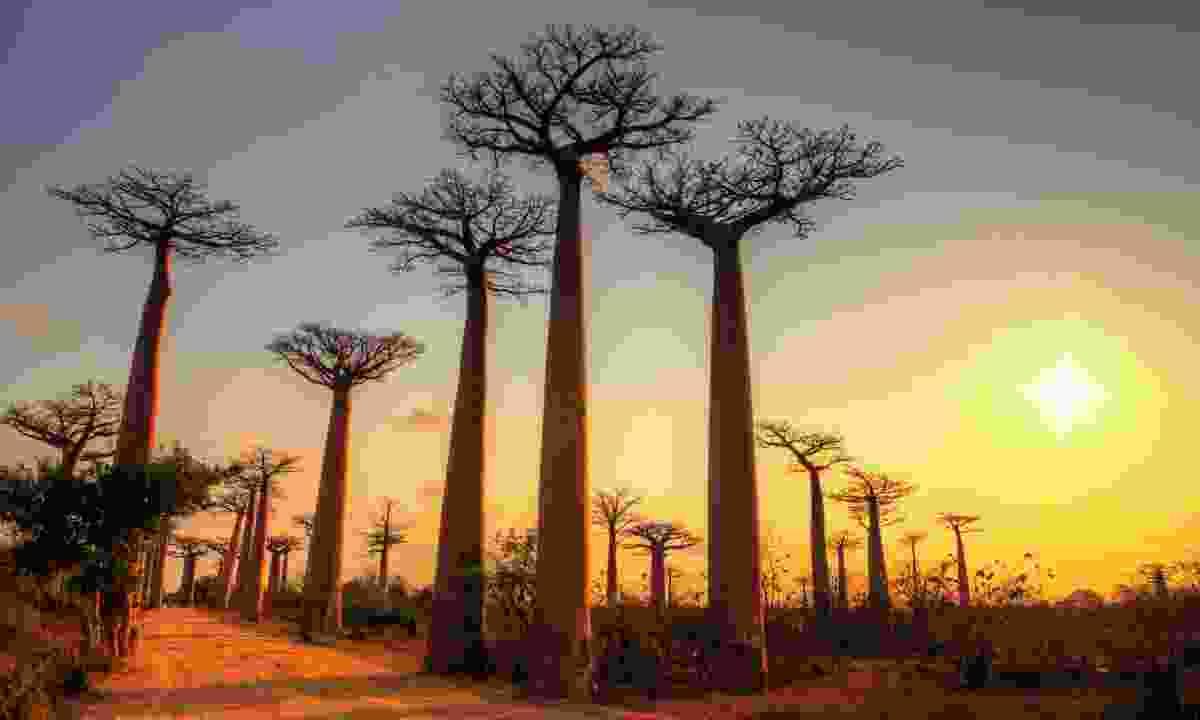 Baobab trees at sunset, Madagascar (Dreamstime)