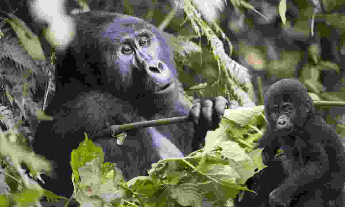 A mother and baby gorilla (Dreamstime)