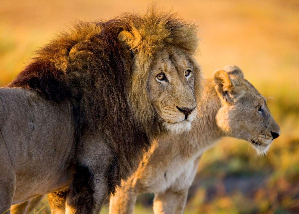 Lions in the Okavango Delta (Dreamstime)