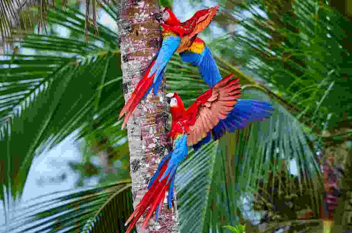 Macaws in Manu National Park, Peru (Shutterstock)