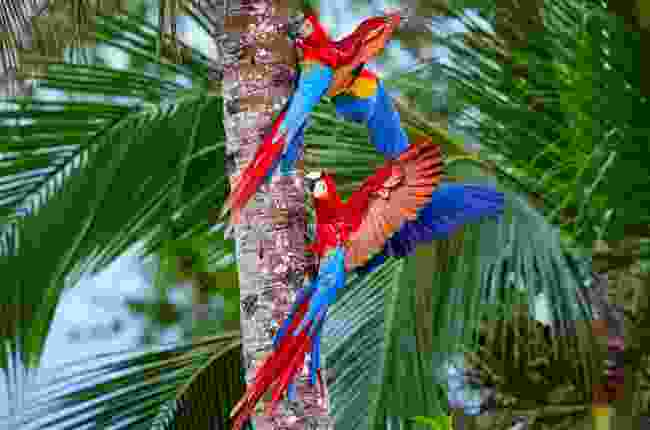 Macaws in Manu National Park, Peru (Shutterstock)