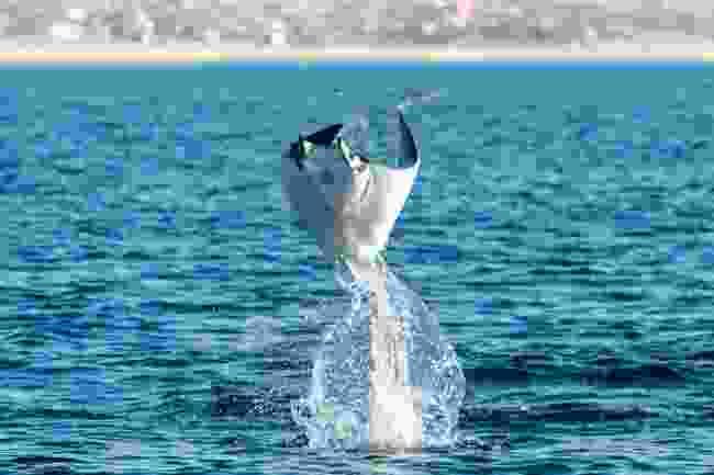 Mpbule rays jumping in the waters of Baja California Sur (Shutterstock)