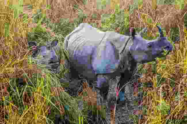 One-horned rhino spotted in Kaziranga National Park, Assam (Shutterstock)