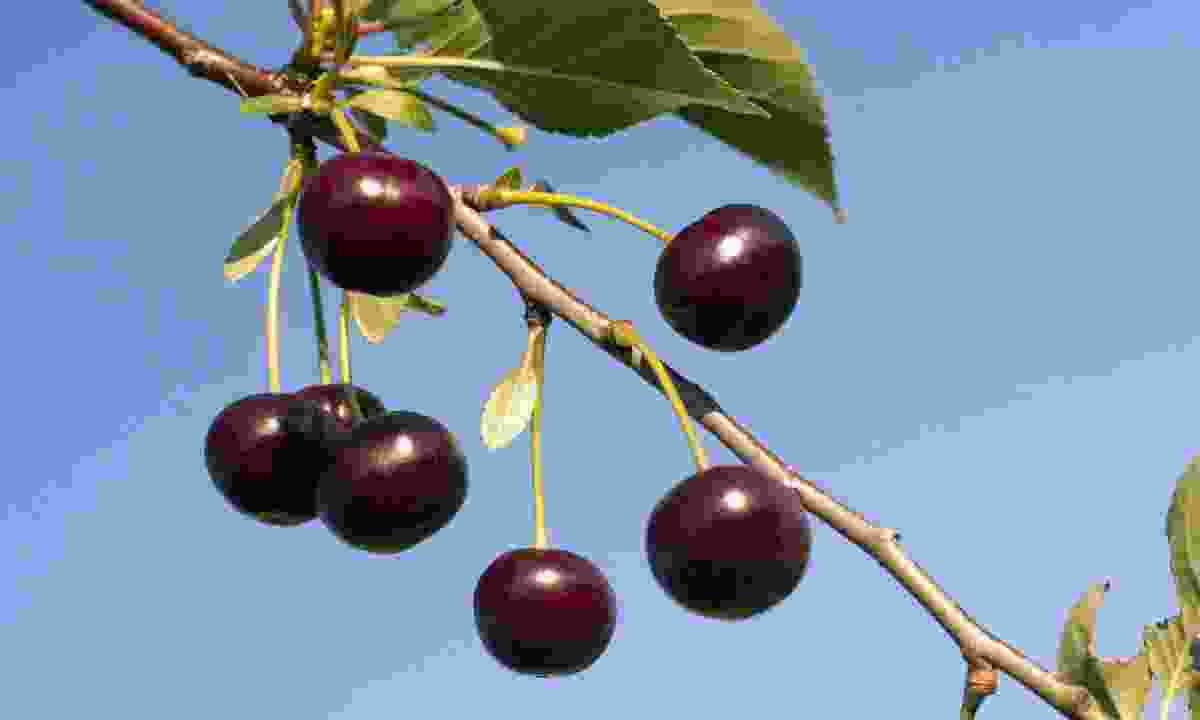 Marasca cherries are used to make Maraschino cherry liquor (Shutterstock)