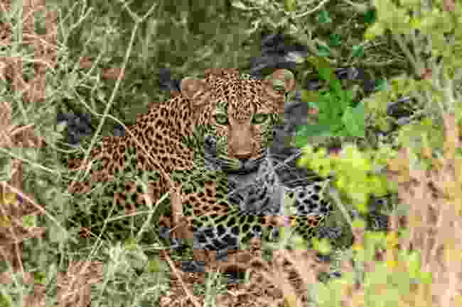 A leopard in the Masai Mara National Reserve, Kenya (Graeme Green)