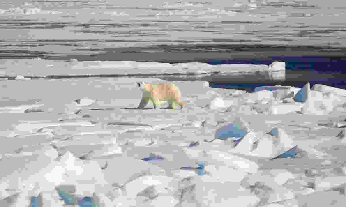 Views of a polar bear from a Quark Expeditions' ship (Acacia Johnson)