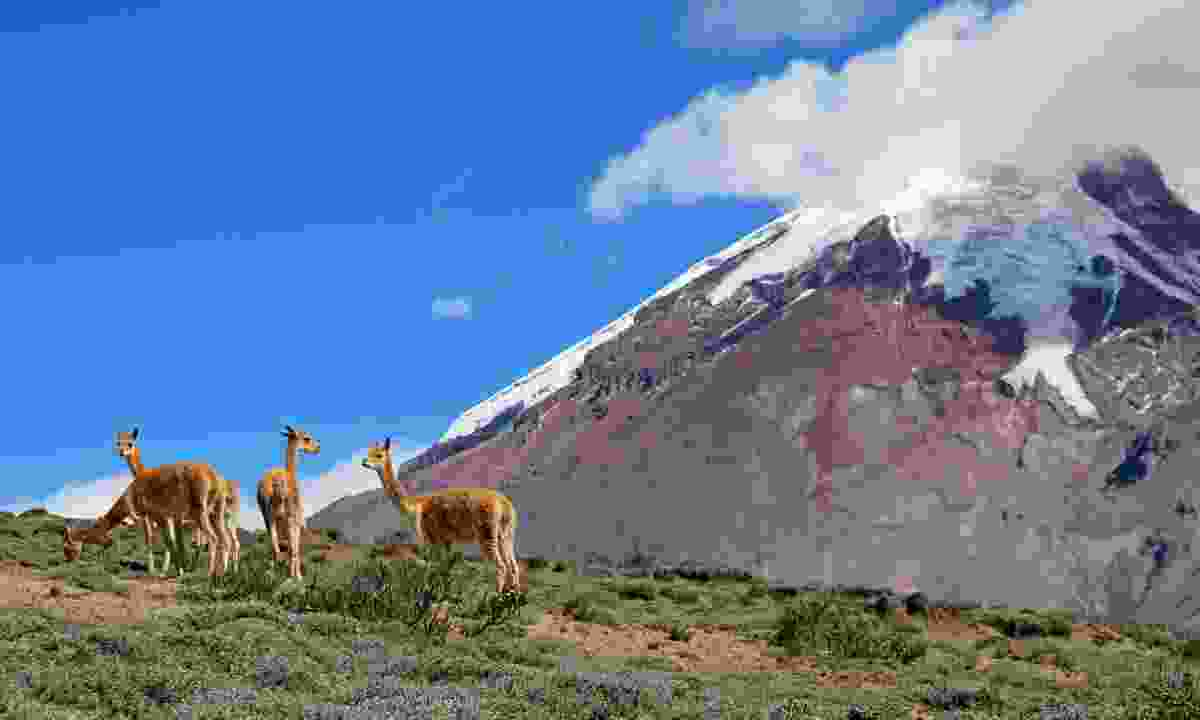 Vicuñas grazing near an Ecuadorian volcano (Dreamstime)