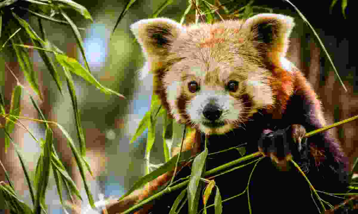 A red panda (Shutterstock)
