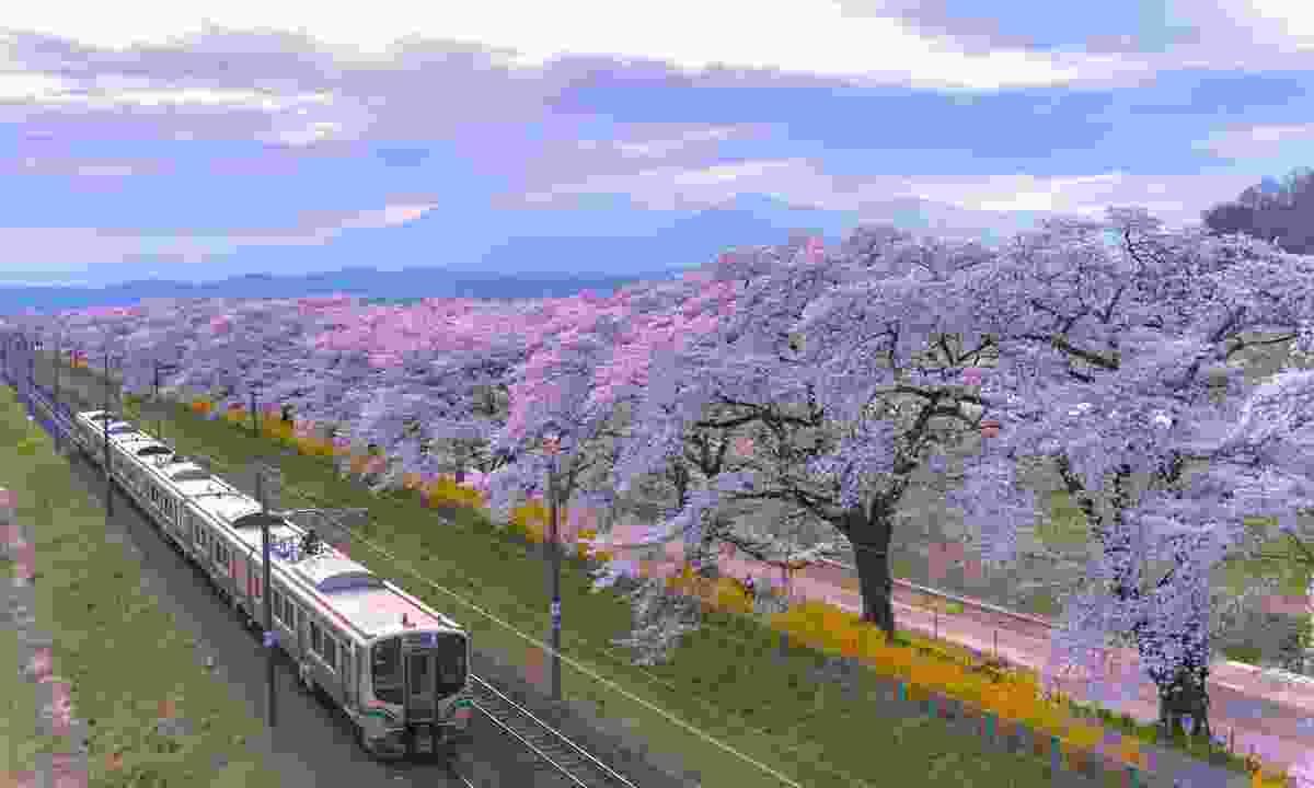 Train passing full bloom cherry tree along the Shiroishi river (Shutterstock)