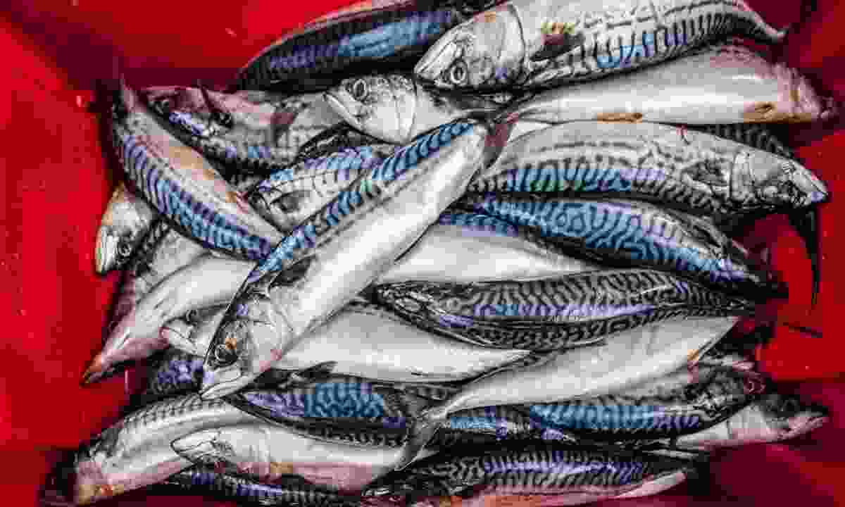 Freshly caught mackerel in Northern Ireland (Shutterstock)