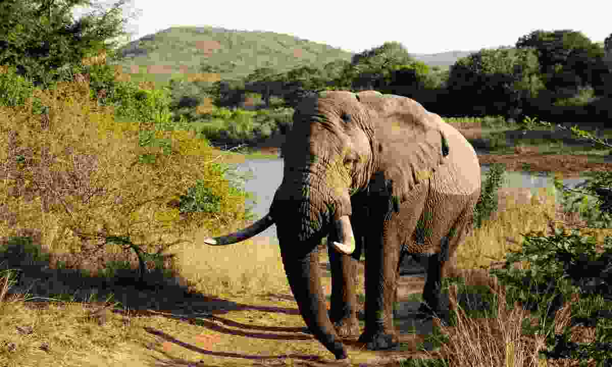 An African elephant lumbers up from the Hluhluwe River (Ariadne Van Zandbergen)