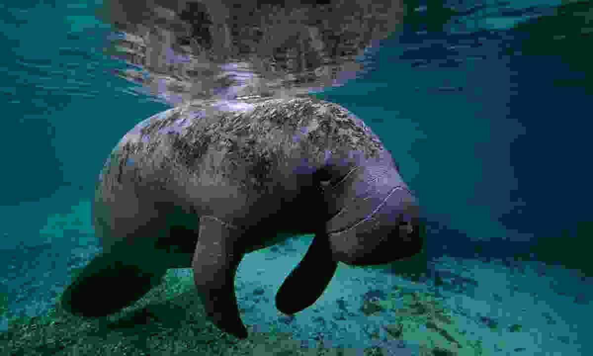 The majestic manatee