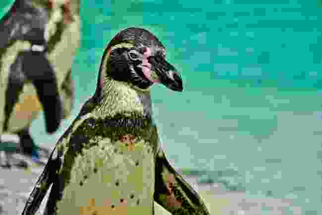 Humboldt penguin (Shutterstock)